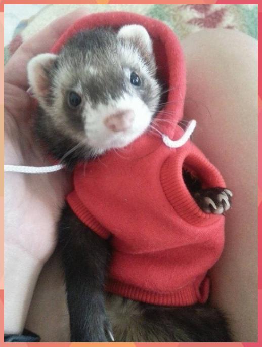 19 Reasons Ferrets Make The Most Adorable Pets Adorable Cute Animals Ferrets Reasons In 2020 Susseste Haustiere Exotische Haustiere Frettchen