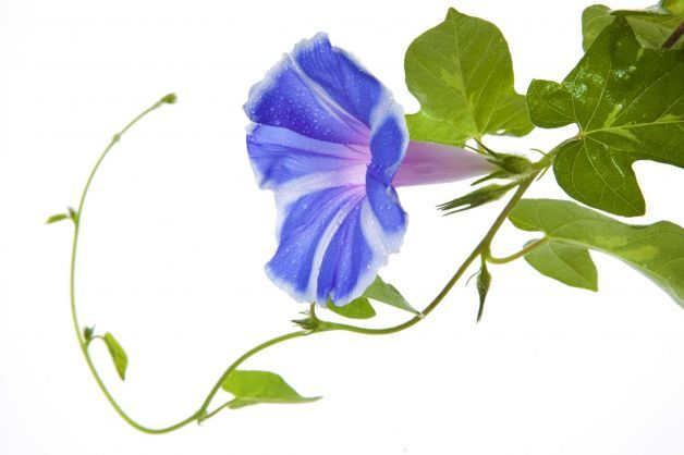 Flower Vines Drawing Morning Glory