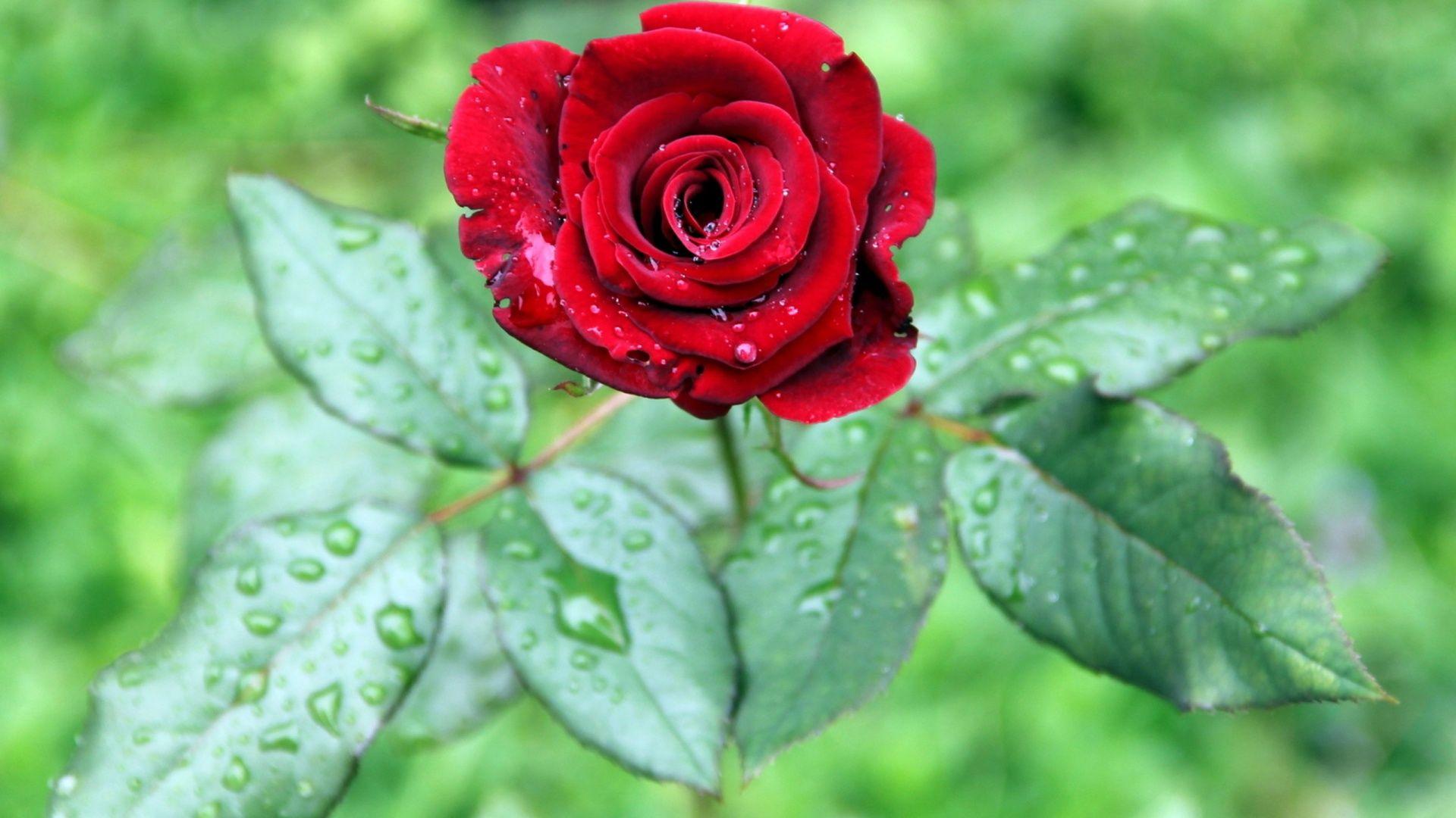 Full Hd Rose Flower Wallpapers Red Rose Flower Rose Flower