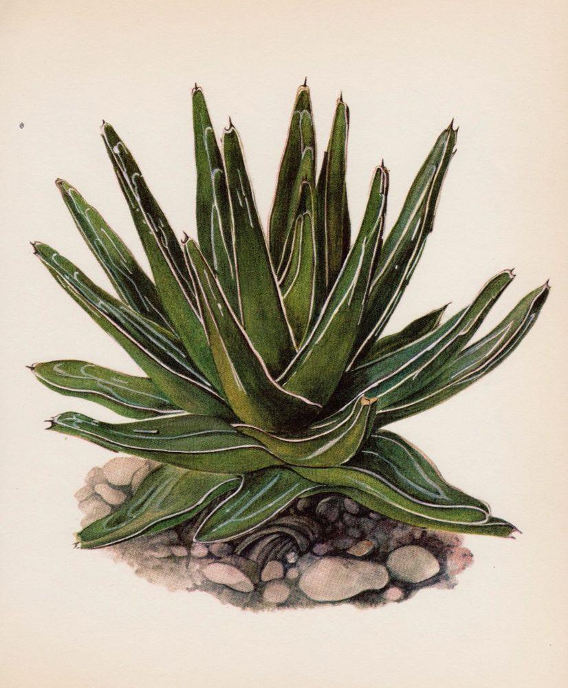 Botanical Cactus Print Queen V. Agave Cactus Art Desert Southwestern ...