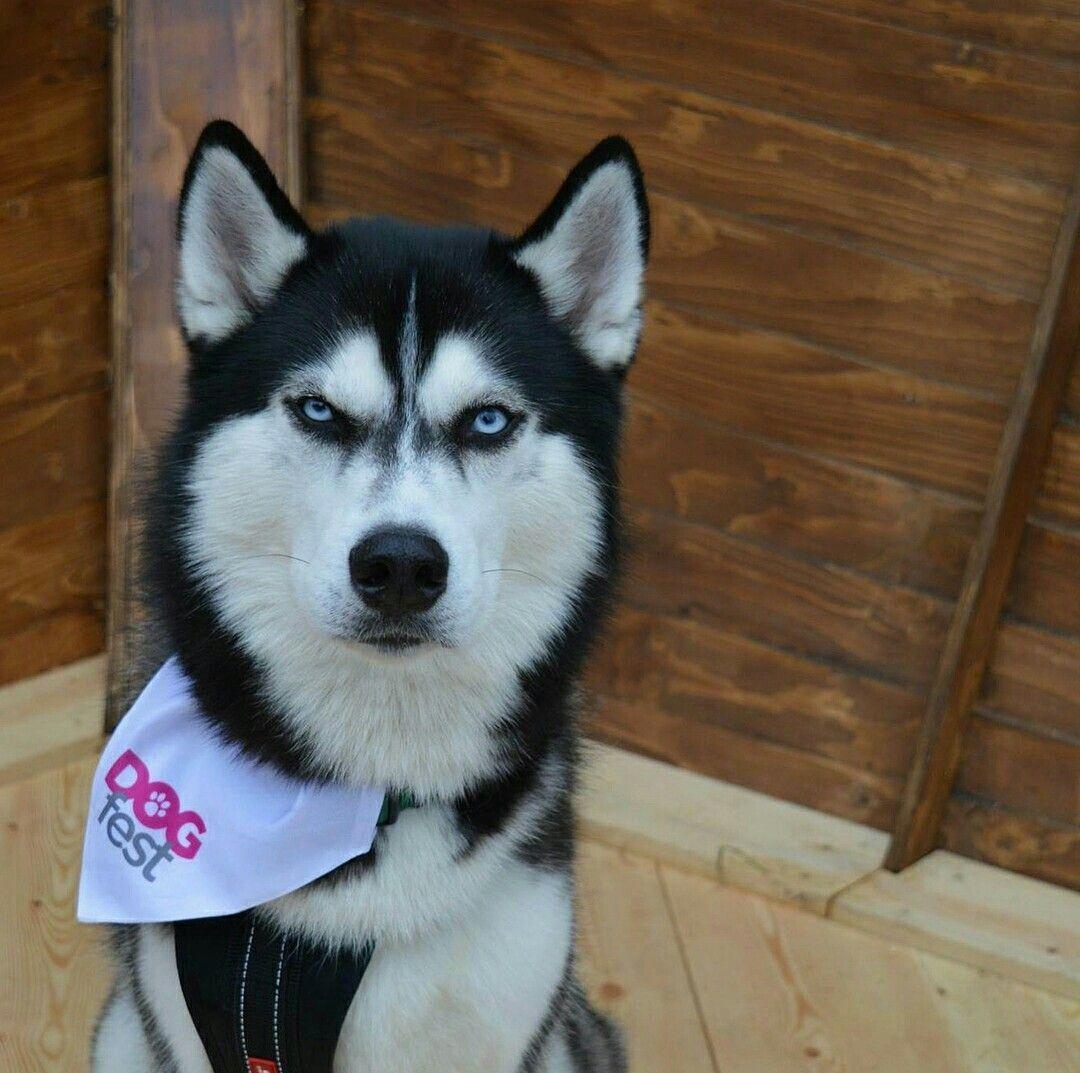 Siberian Husky Siberianhusky Siberian Husky Siberian Husky Dog