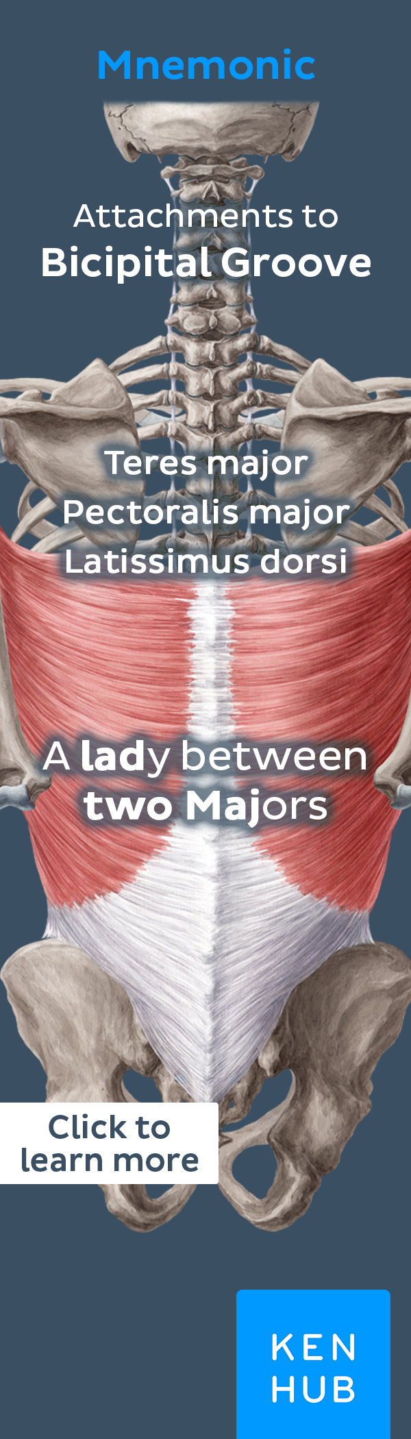 Latissimus dorsi muscle   Anatomy, Muscles and Bodies