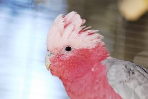Adopt Boomer On Petfinder Parrot Painting Cute Baby Animals Beautiful Birds