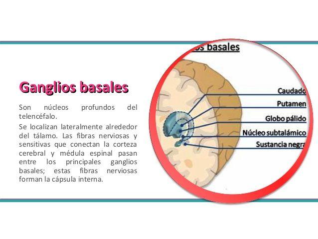 Tallo y ganglios basales en fisiologia del ejercicio   NEURO   Pinterest