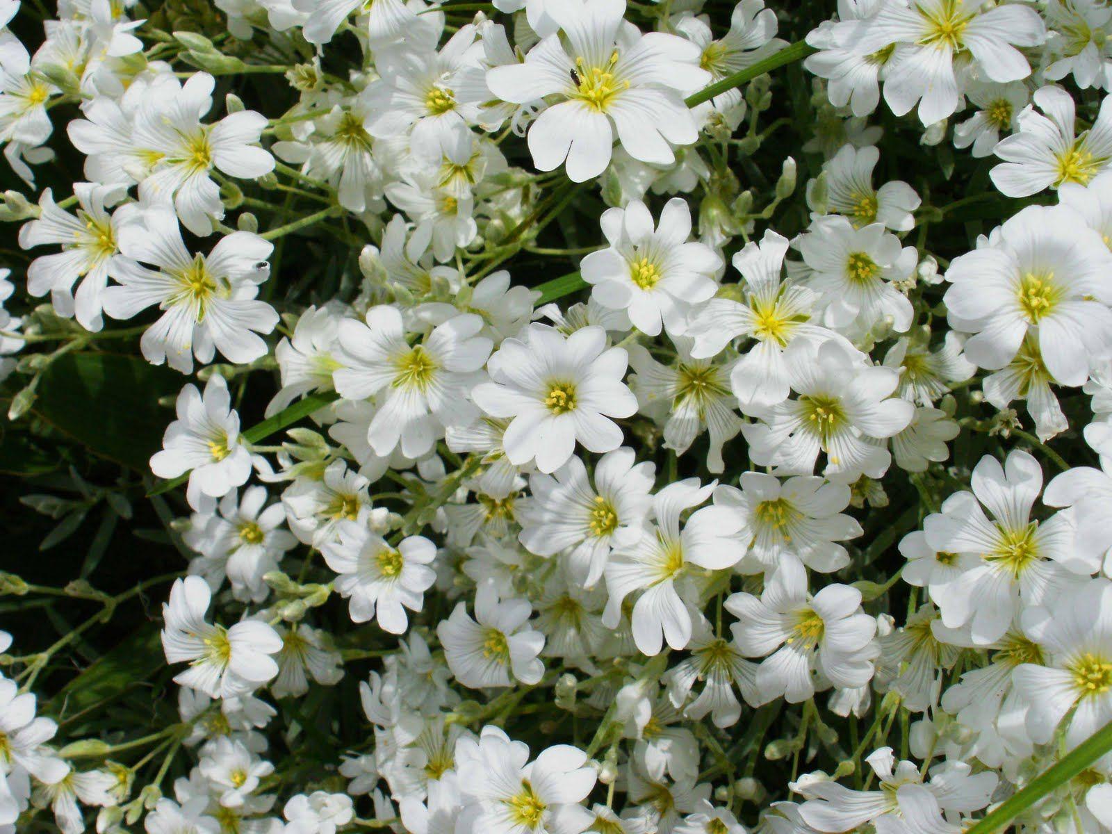 Cerastium Tormentosum Aka Snow In Summer White Flowers In May