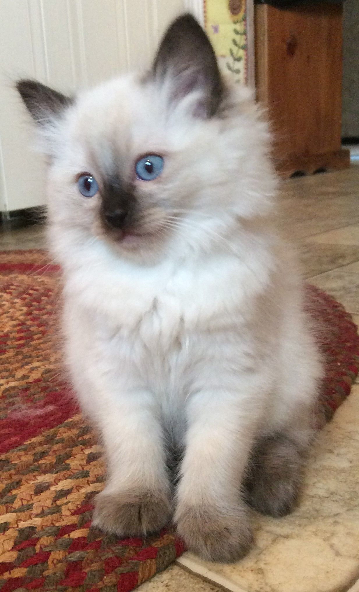 Myresa Is A Seal Point Ragdoll Kitten From Our Third Litter She