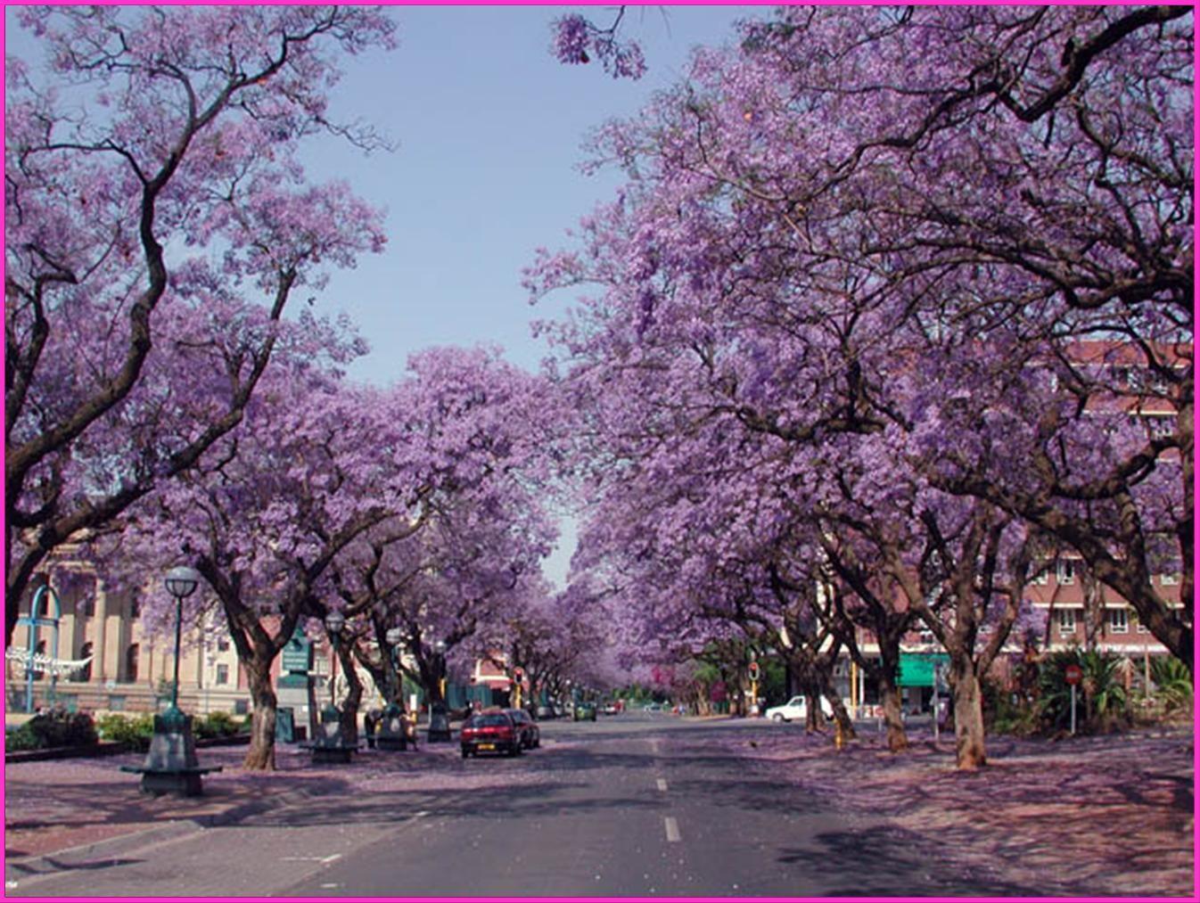Pretoria South Africa Jacaranda Tree South Africa Travel Africa Travel