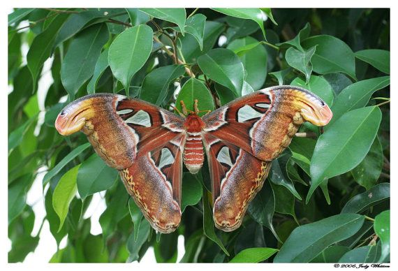 83  Atlas Moth II by JWhittonNaturePhotos on Etsy, $20.00