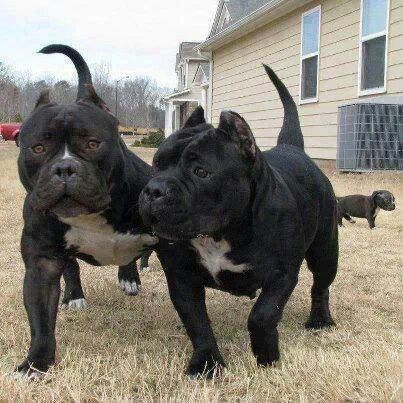 Black American Bully Bully Breeds Dogs Bully Dog Bully Pitbull