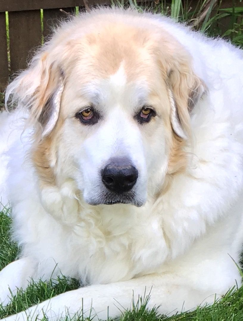 My Baby! The Great Pyrenees !   Caucasian mountain dog ...