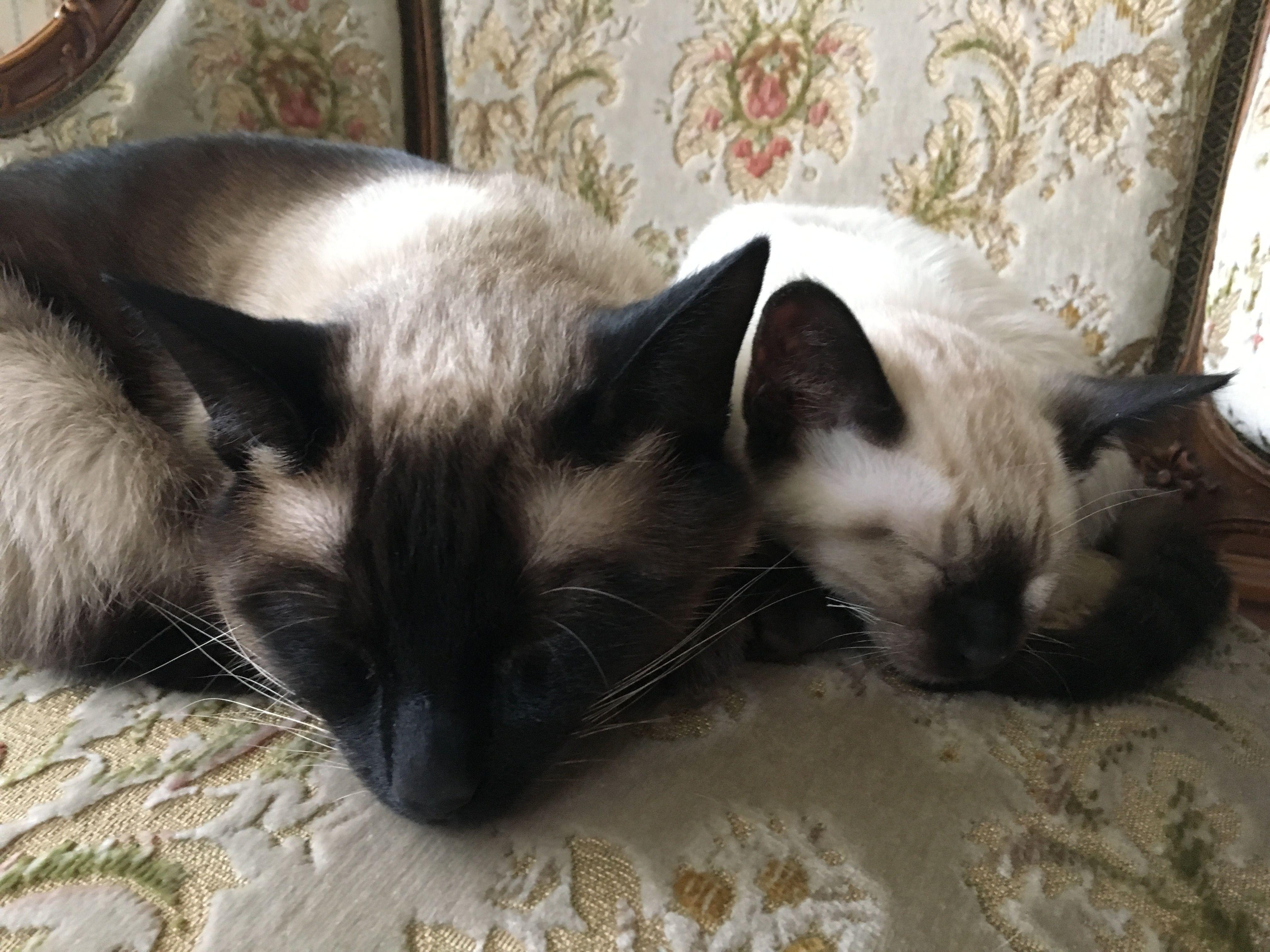 Versace Valentino Kitty Cats Pinterest Versace Siamese