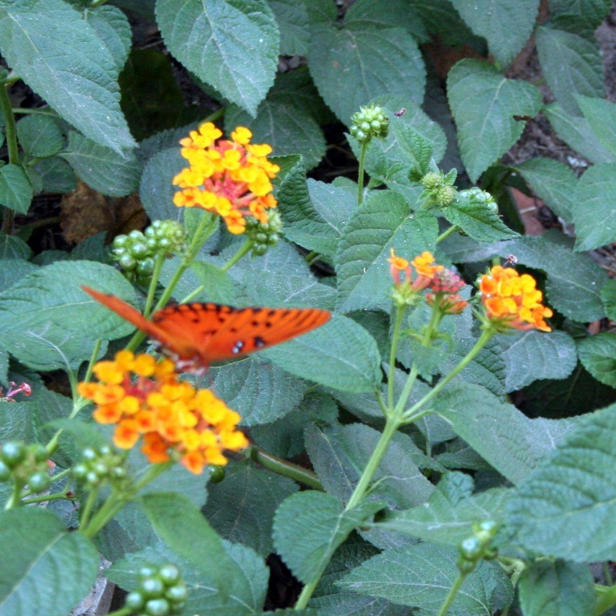 Lantana w/butterfly