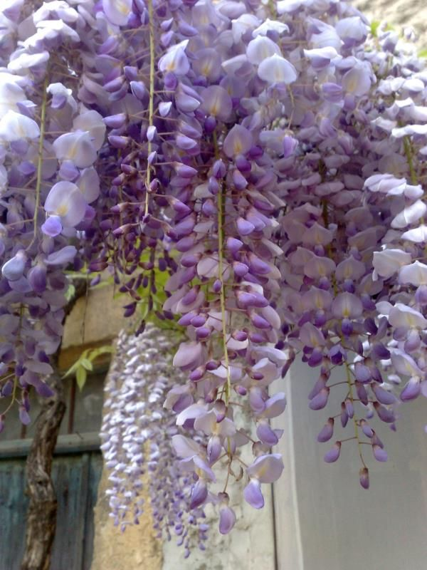 Cascading Purple Home Beautiful Flowers Flower Therapy