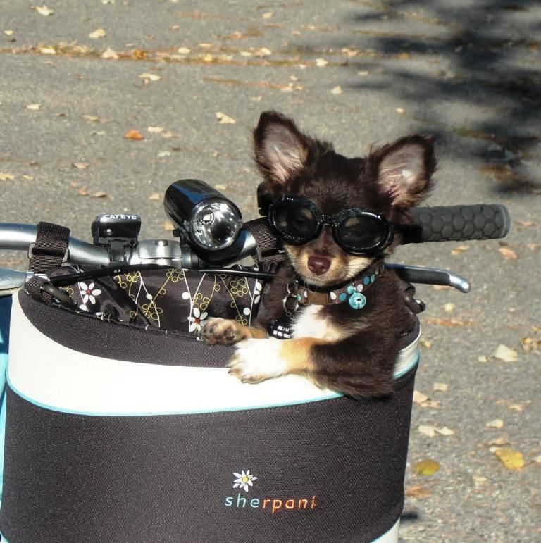 Beau The Long Hair Chihuahua Puppy Wears Doggles On Bike Rides