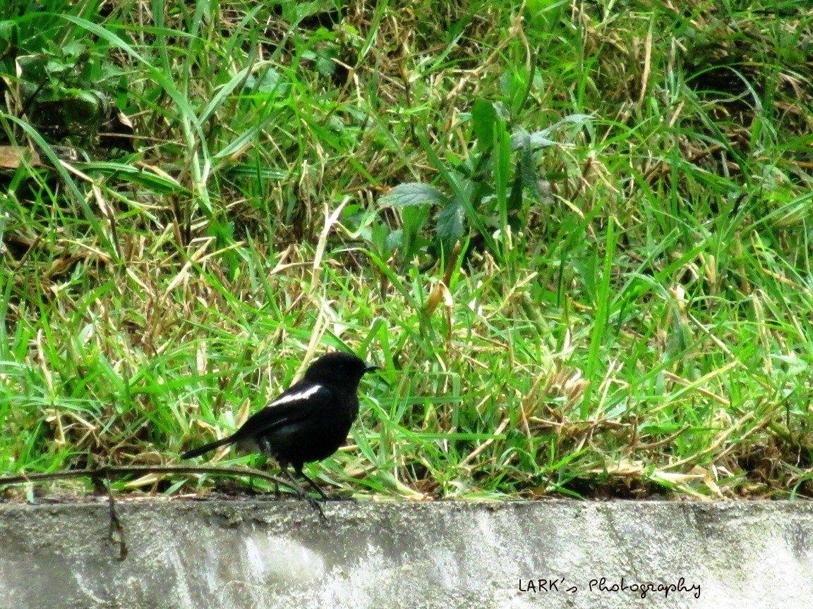 Pied bush chat (Saxicola caprata) Male. - at Aruvankadu, Nilgiris.