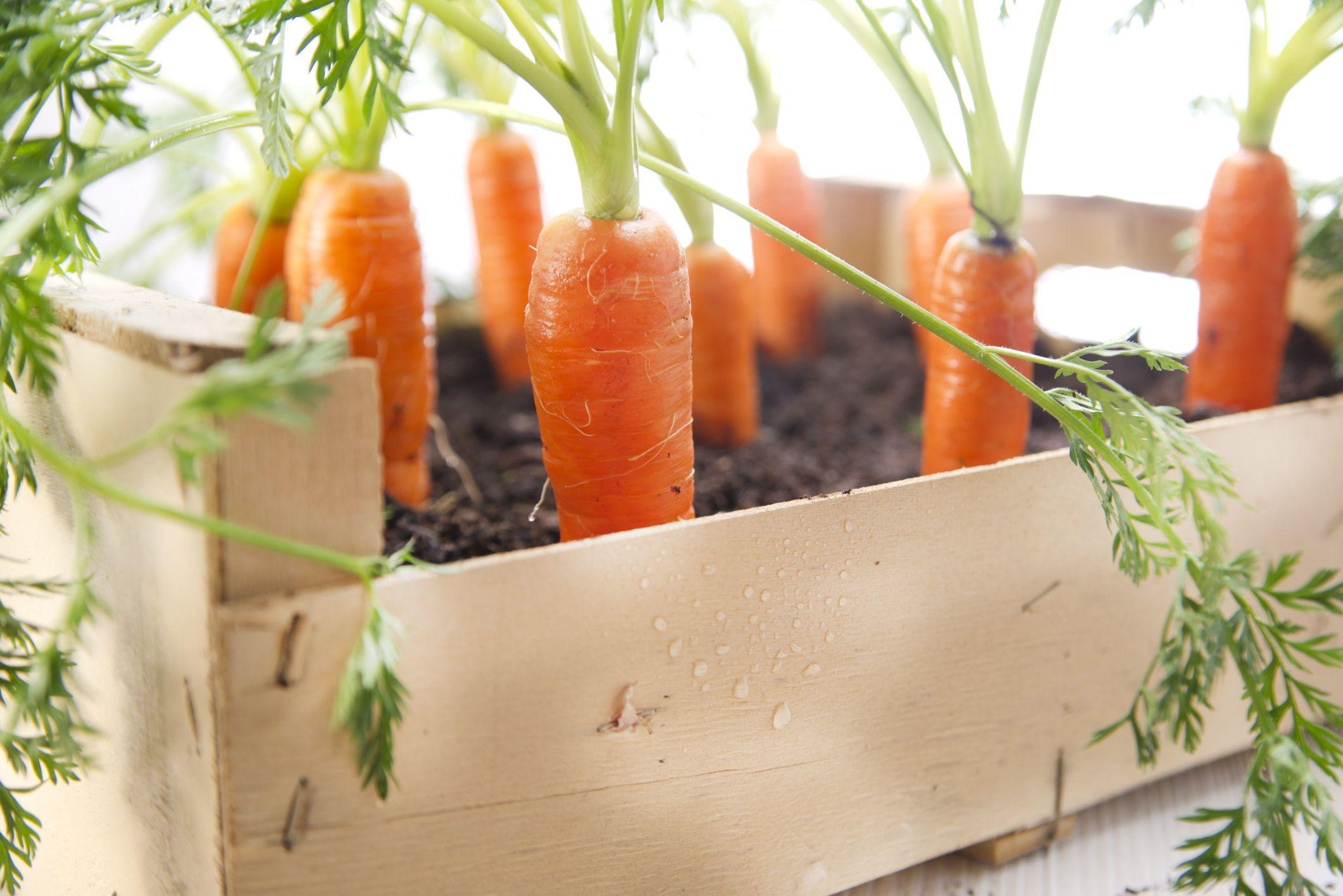 Come coltivare le carote in vaso nel 2020 Giardinaggio