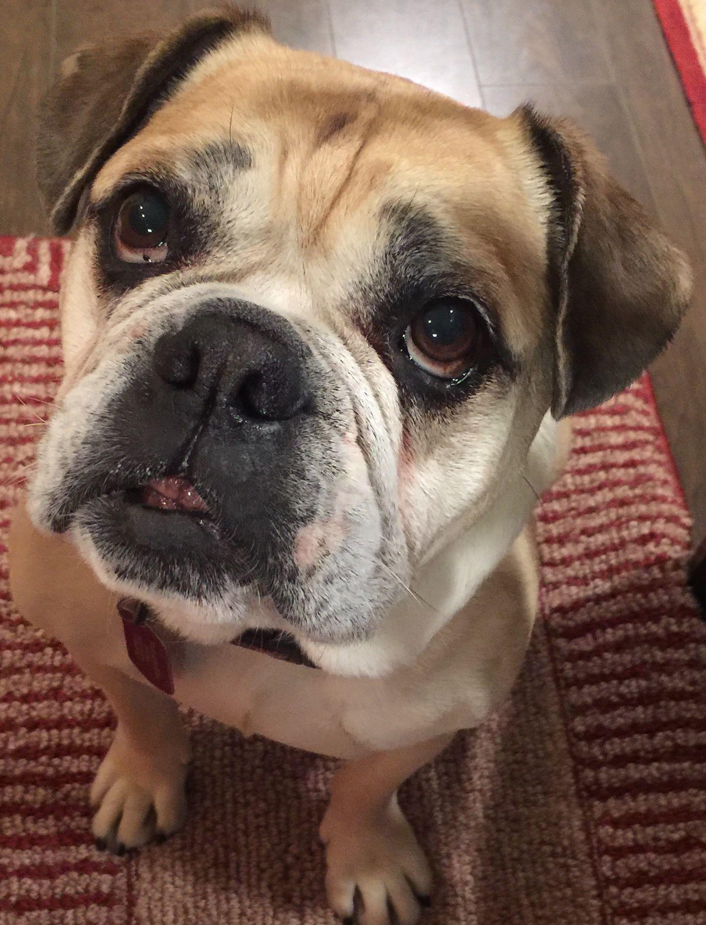 Free Lance Bulldog Dog For Adoption In Mission Viejo Ca Adn