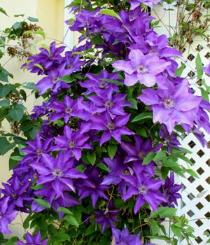 the president clematis 1 gallon trellis clematis. Black Bedroom Furniture Sets. Home Design Ideas