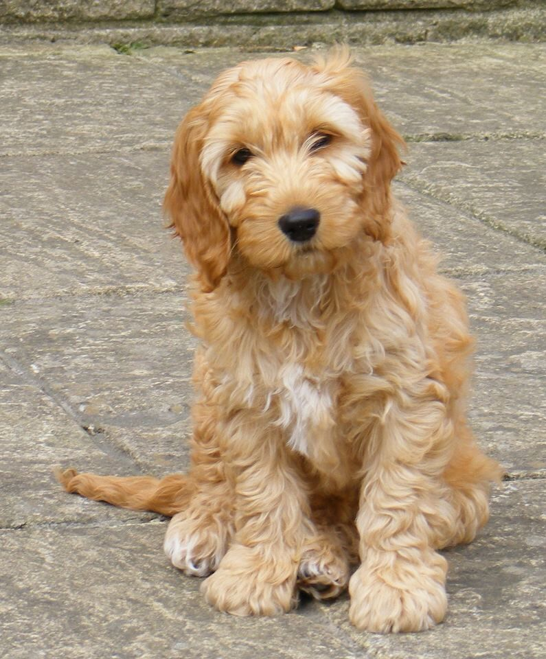 Cockapoo cutie I chose this because I believe dogs are the