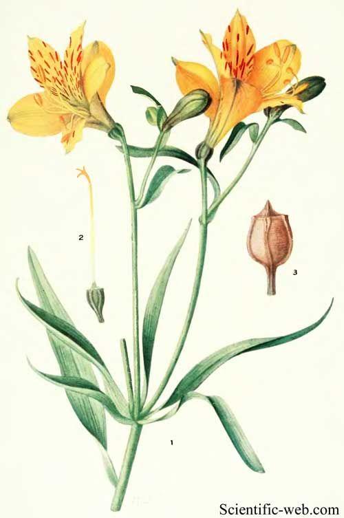 Alstroemeria Botanical Illustration Botanical Drawings Flower Drawing