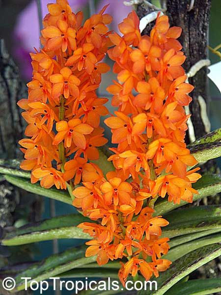 Dendrobium Orchid Dendrobium Orchids Beautiful Flowers Beautiful Orchids