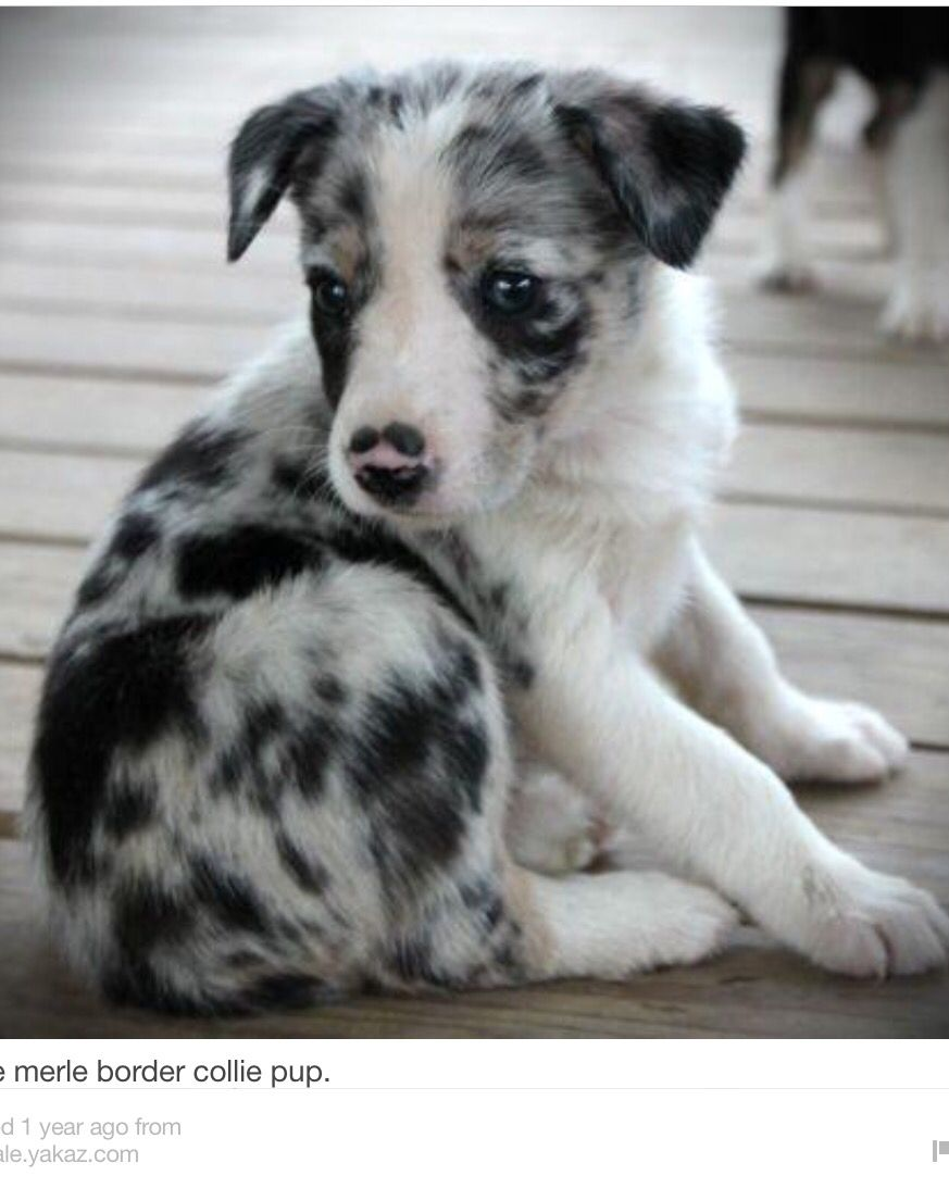 Blue Merle Border Collie Pup Collie Puppies For Sale Border
