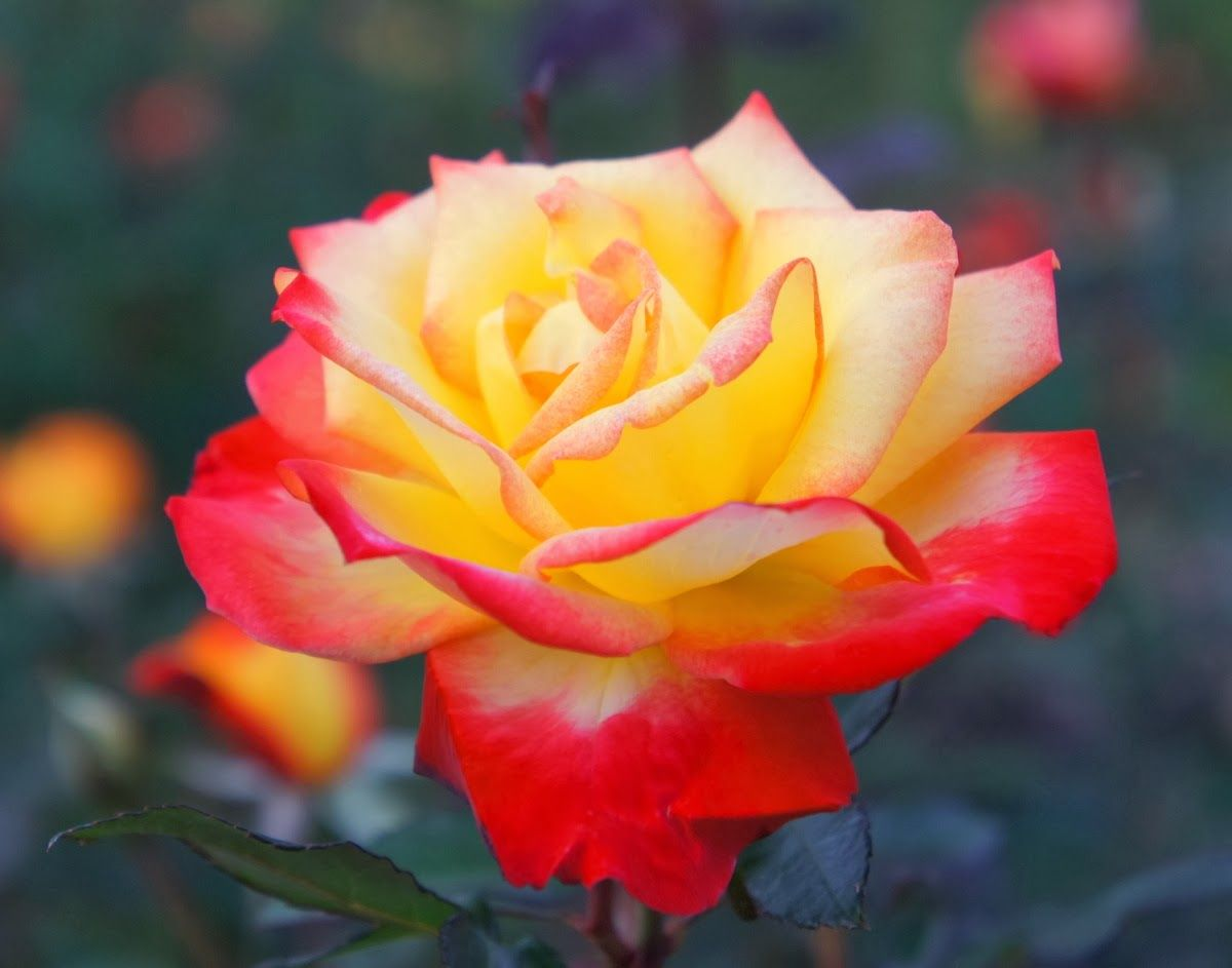 In western culture the rose is the emblem of love and beauty in western culture the rose is the emblem of love and beauty description from izmirmasajfo