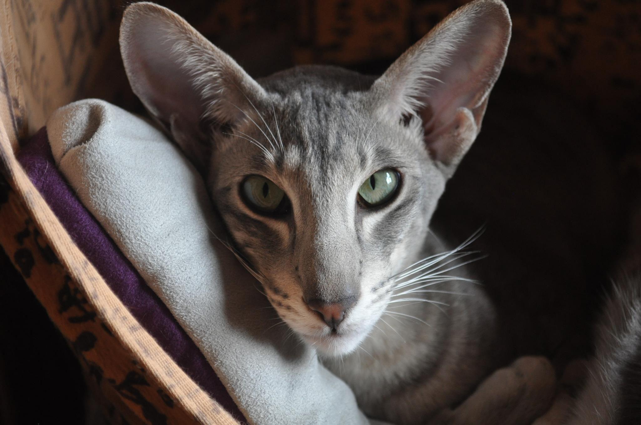 love the big ears Oriental cat breeds, Cat love