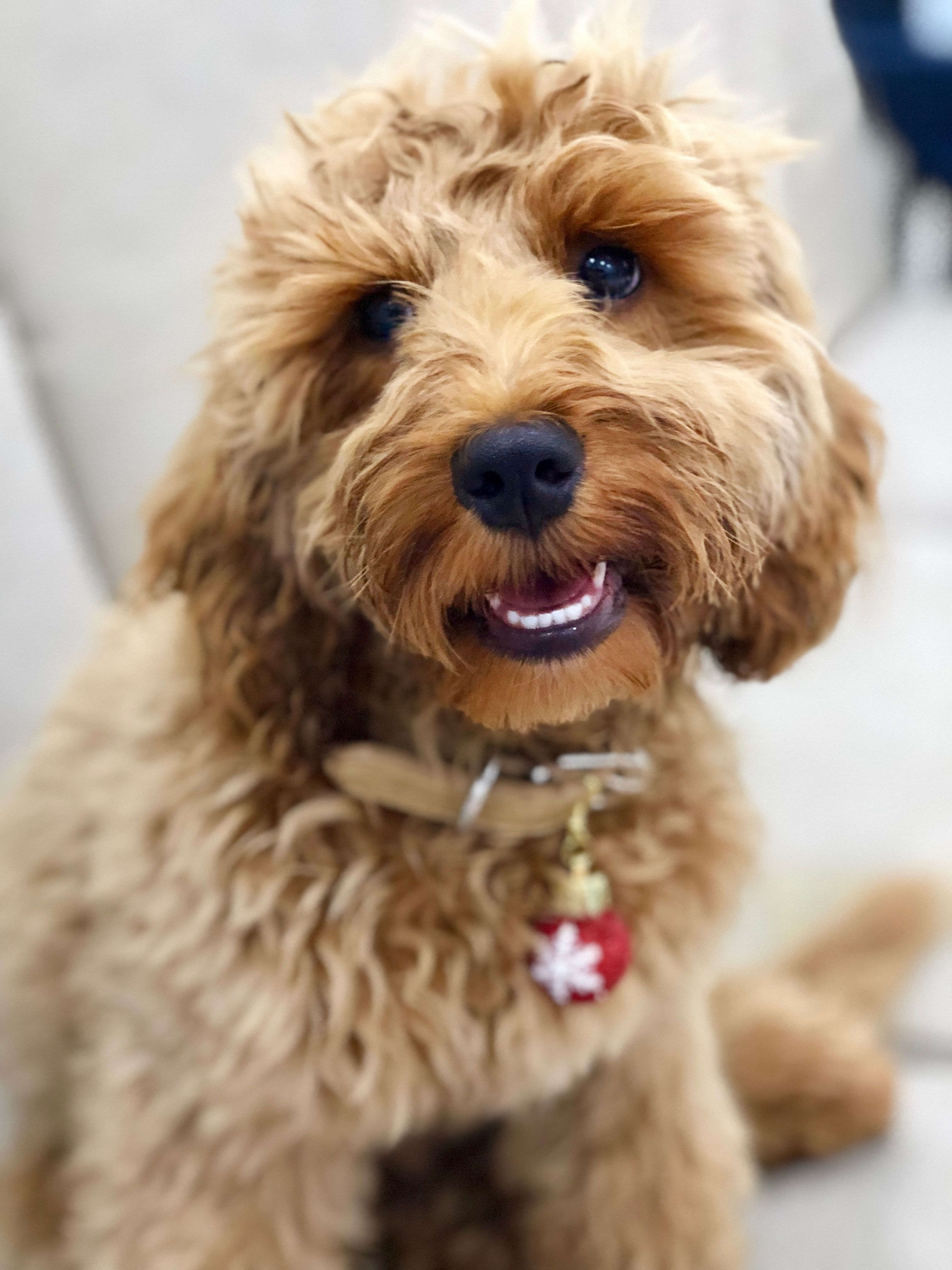 Lola The Cockapoo Is So Cute Check Out Her Instagram With Images
