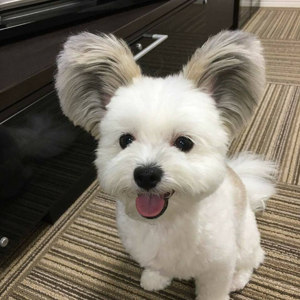 Bijon Frise And Papillon Mix Puppy Little Puppies Cute Animal Pictures Mickey Mouse Ears