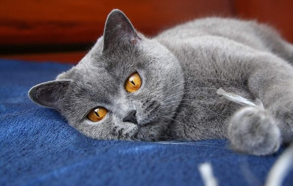 Aww Fluffy With Images Russian Blue Cat Cat Entertainment