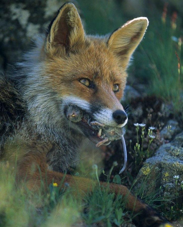 Nature Is Metal Pet Fox Cute Fox Red Fox