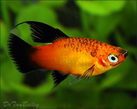 Young female hifin sunset wag platy at for Platy fish breeding