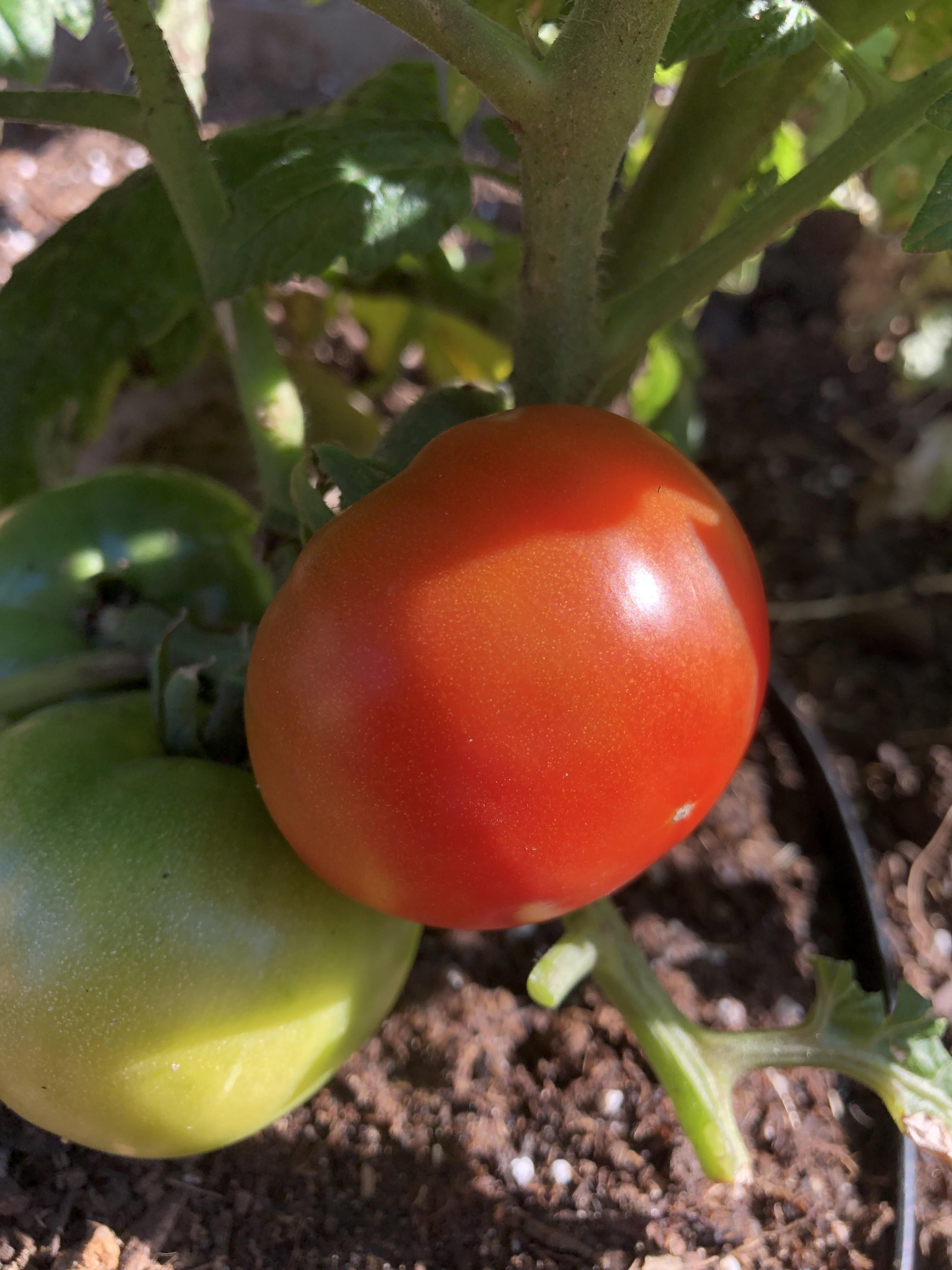 My first ripe Tomato! gardening garden DIY home