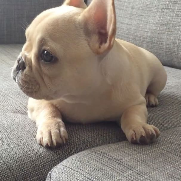 Piggy S First Hiccups Tbt French Bulldog Puppy Yogafrenchie On