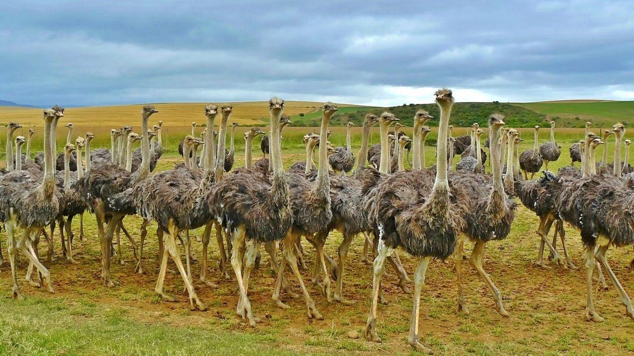 Картинки на рабочий стол страусы