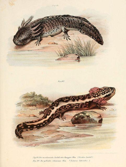 n222_w1150 | Anfibios, Ilustracion cientifica y Reptiles