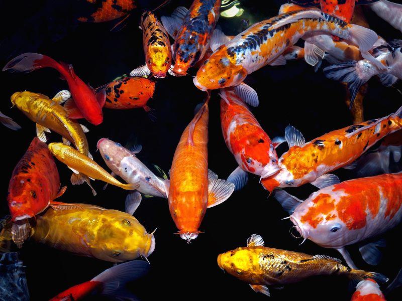 kois sind sehr geliebte und teure fische in den On koi fische überwintern