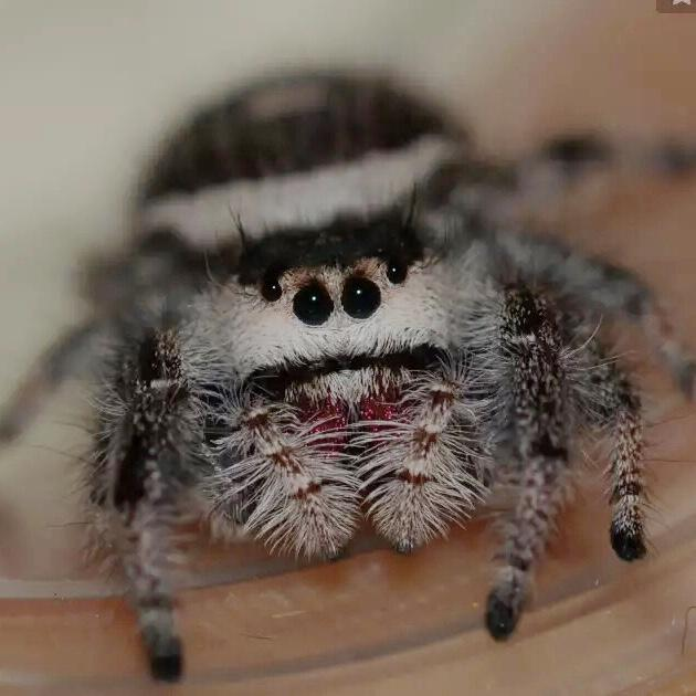 Phidippus Regiu Jumping Spider ( Salticidae ) Jumping