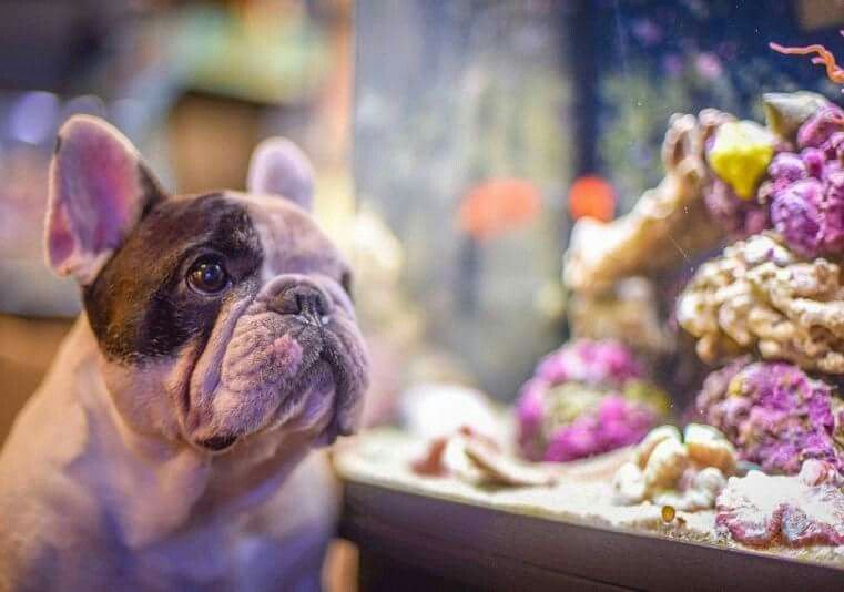 French Bulldog Dreaming In The Patisierre Window In Paris