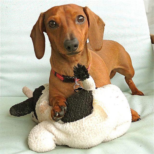 Daisy Her Toy Baby Dachshund Dachshund Love Dachshund Dog