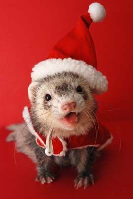 Christmas Ferret Cute Ferrets Pet Ferret Ferret Clothes