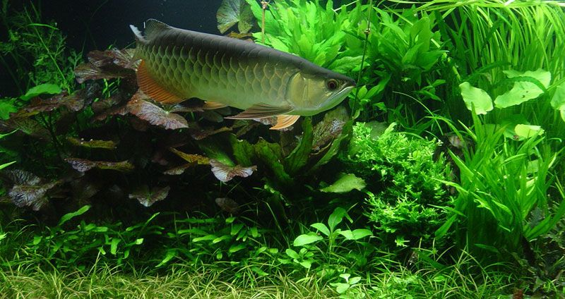 Setting Up Aquascape Aquarium With Arowana Fish | Aquariums And Fish |  Pinterest | Aquariums, Fish And Freshwater Aquarium