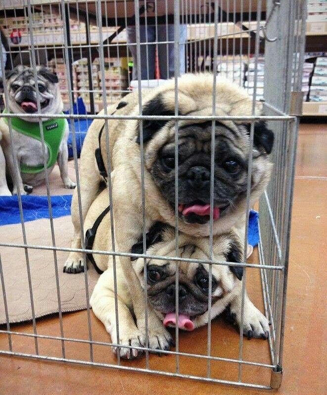 Pugs Available For Adoption Pugs Dogs Animals