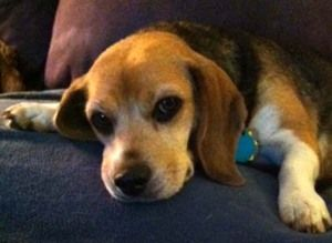 Emily Available For Adoption Through Houston Beagle Hound
