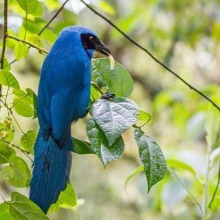 "41 Me gusta, 3 comentarios - Eugenia Rodrigues (@genarodrigues) en Instagram: ""Cyanolyca turcosa #all_mighty_birds #birds #birdsofinstagram #audubonsociety #your_best_birds…"""