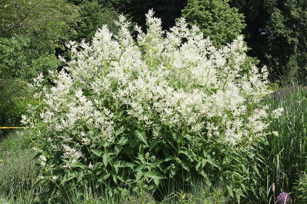 Persicaria polymorpha 'Johanniswolke' – Garten - Bergknöterich - exterior - neugierig auf Natur   Sun/half shade
