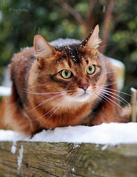 Darkpoppy She Cat Cute Cats And Dogs Abyssinian Cats Cat Breeds