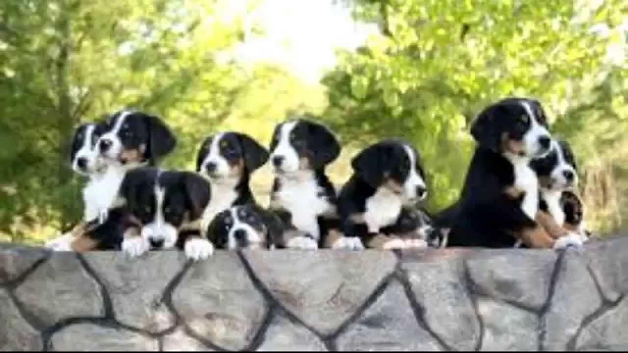 Greater Swiss Mountain Dog Photos and Information # ...
