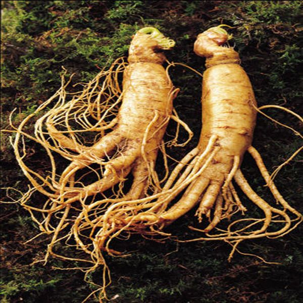 Chinese Ginseng Root 6 Real Seeds King of Herb 100% ...